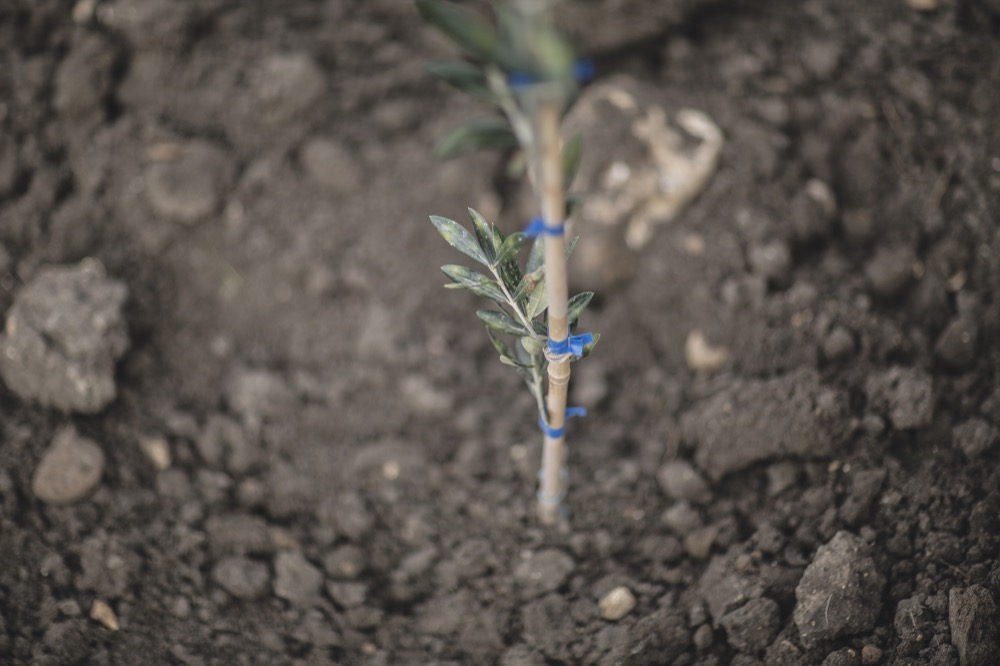 nuovo oliveto capparrina-4