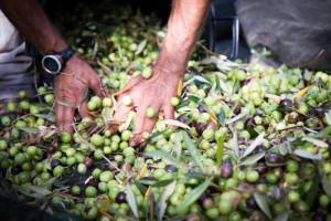 oliveto planeta